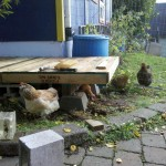 Chickens Inspecting new Pallet Deck