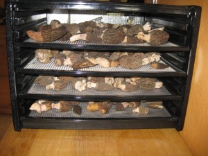 Morels Drying